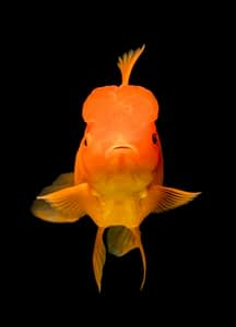 can goldfish eat betta food